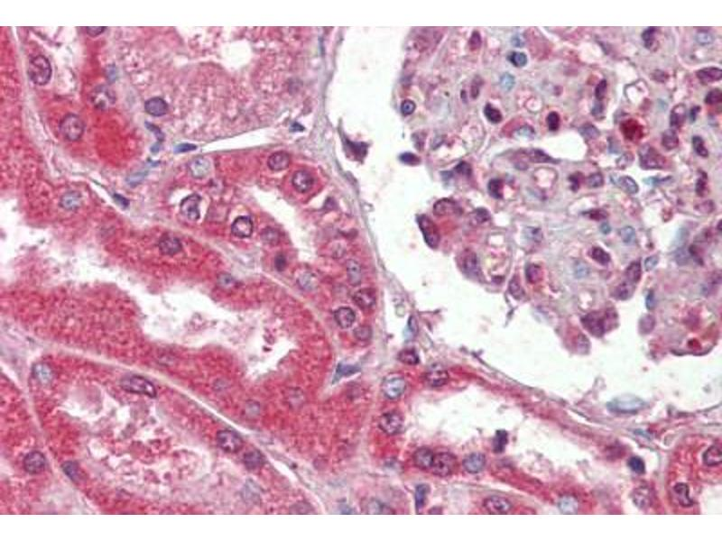 Image no. 4 for anti-Collagen, Type I (COL1) antibody (ABIN462339)