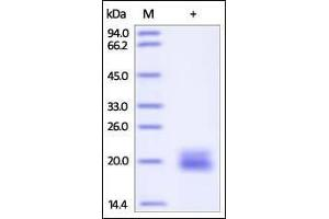 Image no. 1 for Vascular Endothelial Growth Factor (VEGF) (AA 27-146) (Active) protein (ABIN2181897)