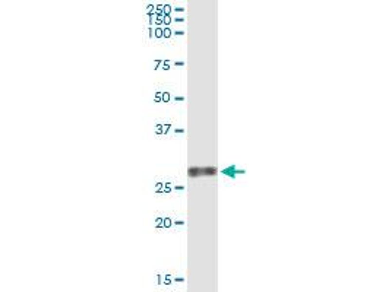 Immunoprecipitation (IP) image for anti-Vascular Endothelial Growth Factor B (VEGFB) (AA 27-136), (partial) antibody (ABIN521326)