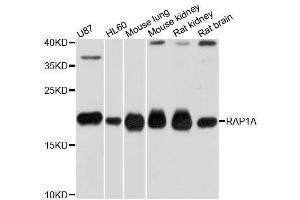 Image no. 2 for anti-RAP1A, Member of RAS Oncogene Family (RAP1A) antibody (ABIN3021200)