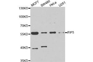 Image no. 1 for anti-Eukaryotic Translation Initiation Factor 5 (EIF5) antibody (ABIN2562393)