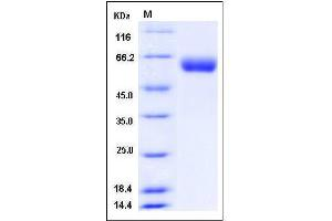 Image no. 1 for Vanin 1 (VNN1) (AA 1-487) protein (His tag) (ABIN2008440)