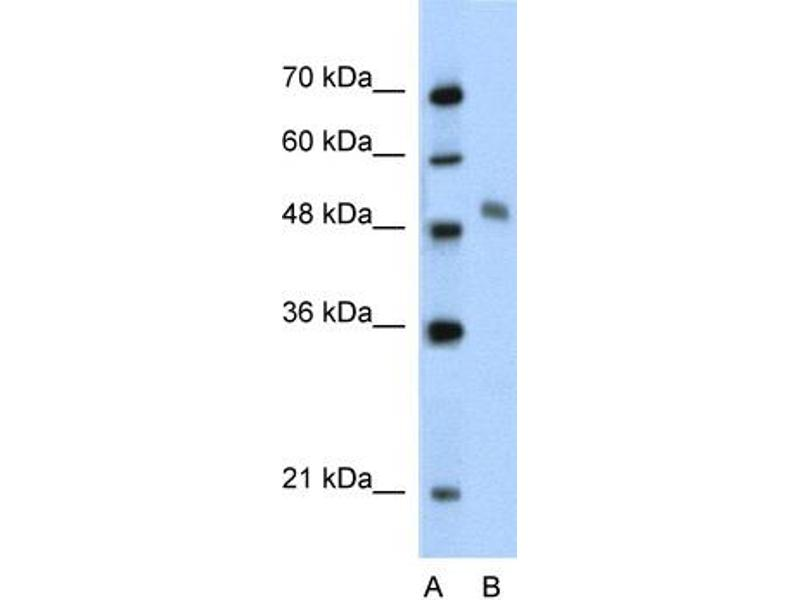 Western Blotting (WB) image for anti-Myb-Like Protein 1 (MYBL1) (Middle Region) antibody (ABIN2777538)