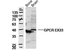 Image no. 2 for anti-G Protein-Coupled Receptor 84 (GPR84) antibody (ABIN2173922)