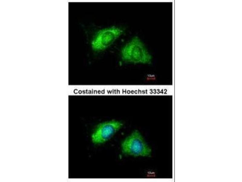 Immunofluorescence (IF) image for anti-Calnexin (CANX) (Internal Region) antibody (ABIN2855124)