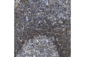 Immunohistochemistry (Paraffin-embedded Sections) (IHC (p)) image for anti-RCSD1 抗体 (RCSD Domain Containing 1) (ABIN4349755)