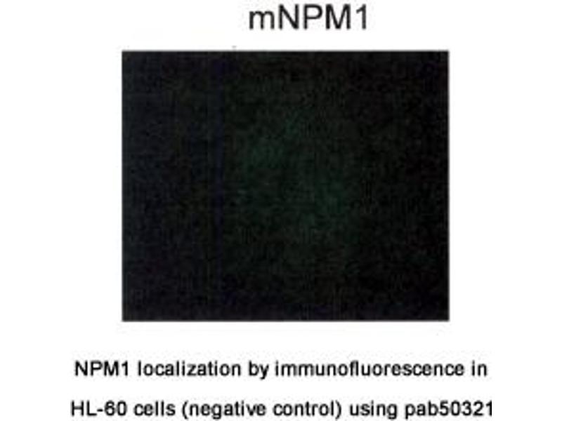 image for anti-Nucleophosmin (Nucleolar phosphoprotein B23, Numatrin) (NPM1) (AA 250-298), (C-Term) 抗体 (ABIN1737584)