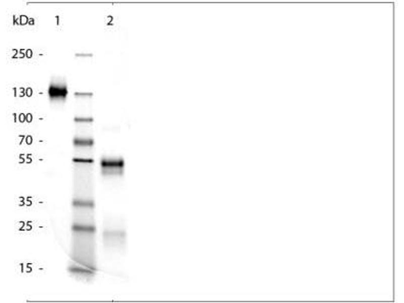 SDS-PAGE (SDS) image for Rabbit IgG isotype control (ABIN4323526)