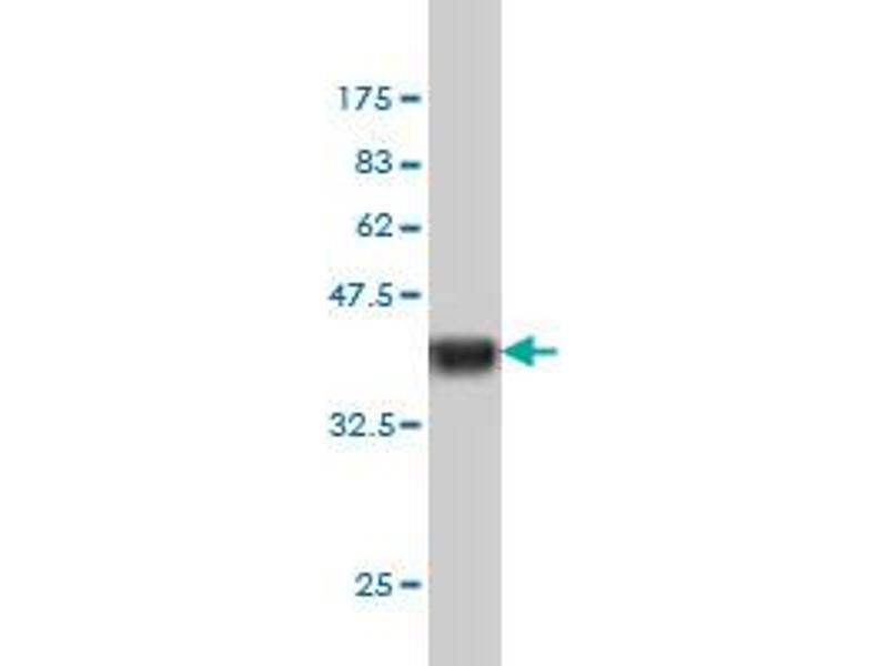 Western Blotting (WB) image for anti-NCK Adaptor Protein 1 (NCK1) (AA 185-294) antibody (ABIN393431)