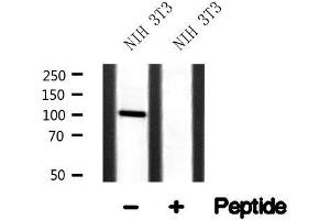 Image no. 1 for anti-Itchy E3 Ubiquitin Protein Ligase Homolog (Mouse) (ITCH) antibody (ABIN6268278)