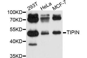 Image no. 1 for anti-TIMELESS Interacting Protein (TIPIN) antibody (ABIN4905426)