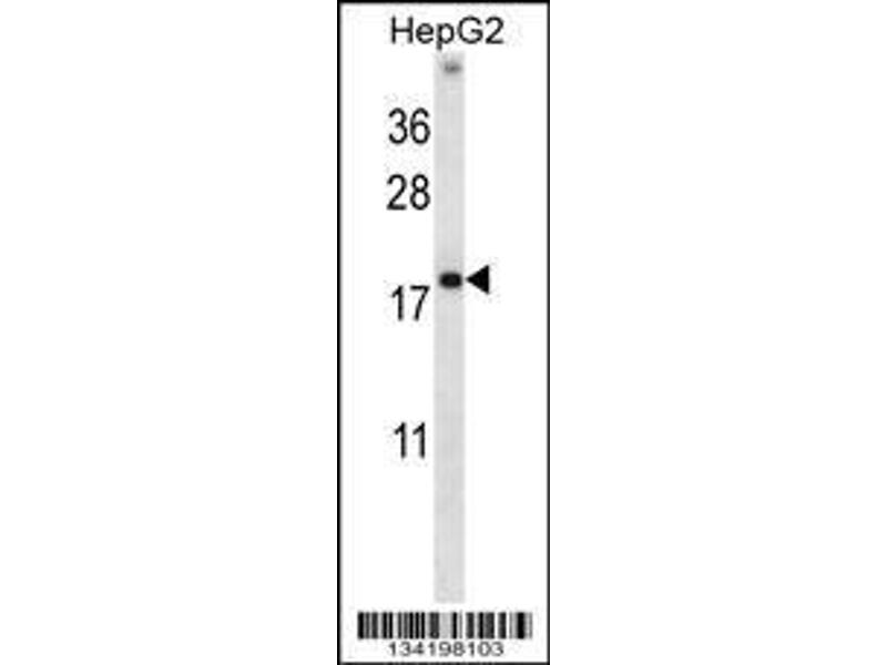 Western Blotting (WB) image for anti-HMGN1 antibody (High Mobility Group Nucleosome Binding Domain 1) (AA 1-30) (ABIN658140)