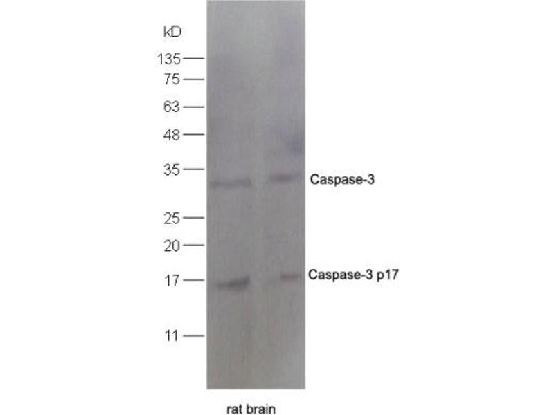 Western Blotting (WB) image for anti-Caspase 3 Antikörper (Caspase 3, Apoptosis-Related Cysteine Peptidase) (AA 60-100) (ABIN724625)