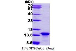 Image no. 1 for C-Myc Binding Protein (MYCBP) (AA 1-103) protein (His tag) (ABIN667568)