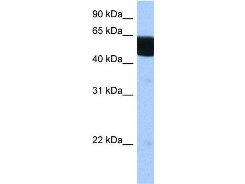 Western Blotting (WB) image for anti-Retinoid X Receptor, beta (RXRB) (N-Term) antibody (ABIN2782297)