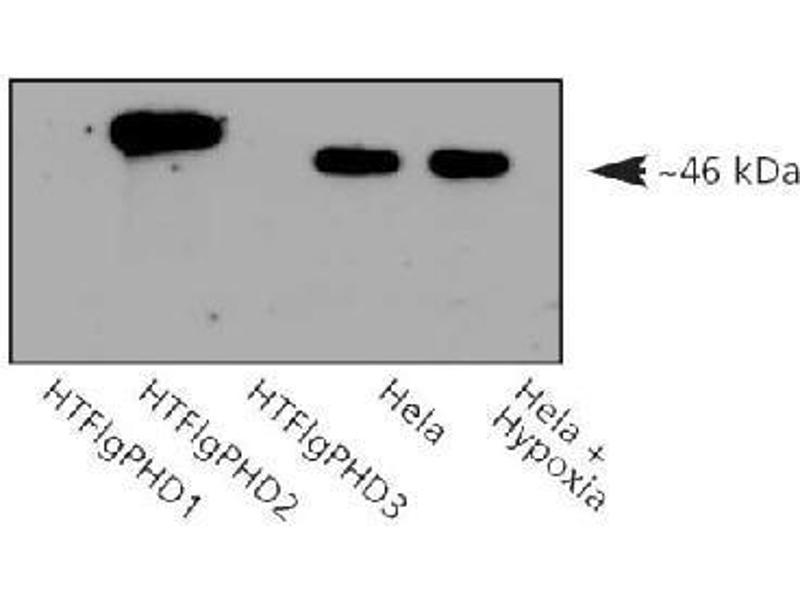 Western Blotting (WB) image for anti-Egl Nine Homolog 1 (C. Elegans) (EGLN1) antibody (ABIN151071)