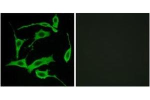 Image no. 2 for anti-G Protein-Coupled Receptor 85 (GPR85) (AA 181-230) antibody (ABIN1535751)