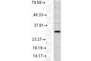 Image no. 1 for anti-Heme Oxygenase (Decycling) 1 (HMOX1) antibody (ABIN361673)