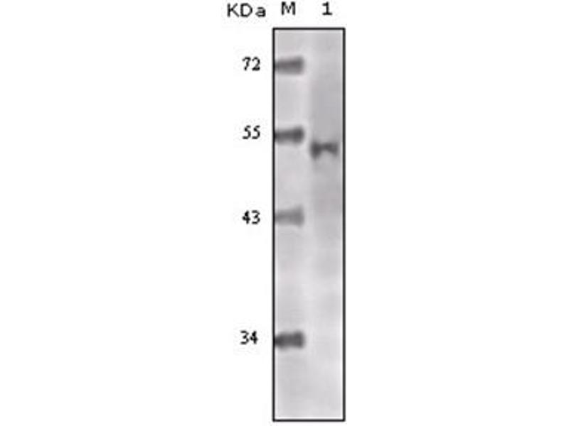 Western Blotting (WB) image for anti-K(lysine) Acetyltransferase 5 (KAT5) antibody (ABIN1107913)