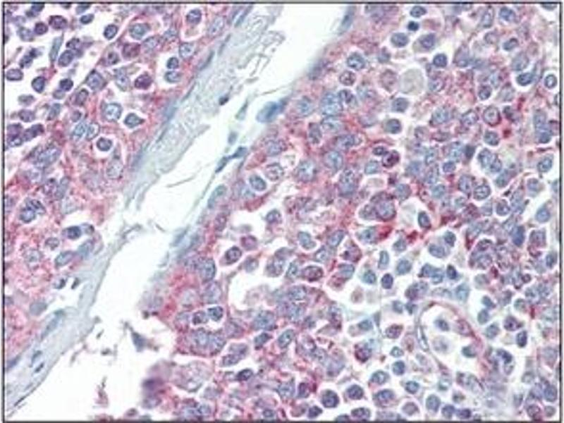 Immunohistochemistry (IHC) image for anti-DIABLO antibody (Second Mitochondria-Derived Activator of Caspase) (ABIN492563)