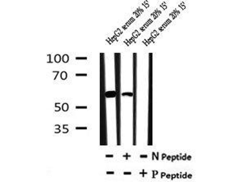 Image no. 2 for anti-Odd-Skipped Related 1 (Drosophila) (OSR1) (pSer339) antibody (ABIN6269753)