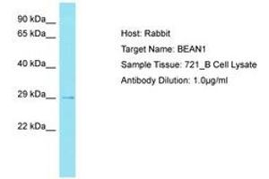 Image no. 1 for anti-Brain Expressed, Associated with NEDD4, 1 (BEAN1) (AA 163-212) antibody (ABIN6750762)