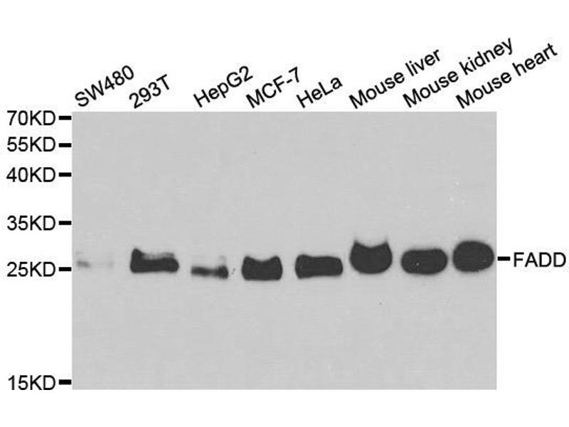 Western Blotting (WB) image for anti-Fas (TNFRSF6)-Associated Via Death Domain (FADD) antibody (ABIN2562524)