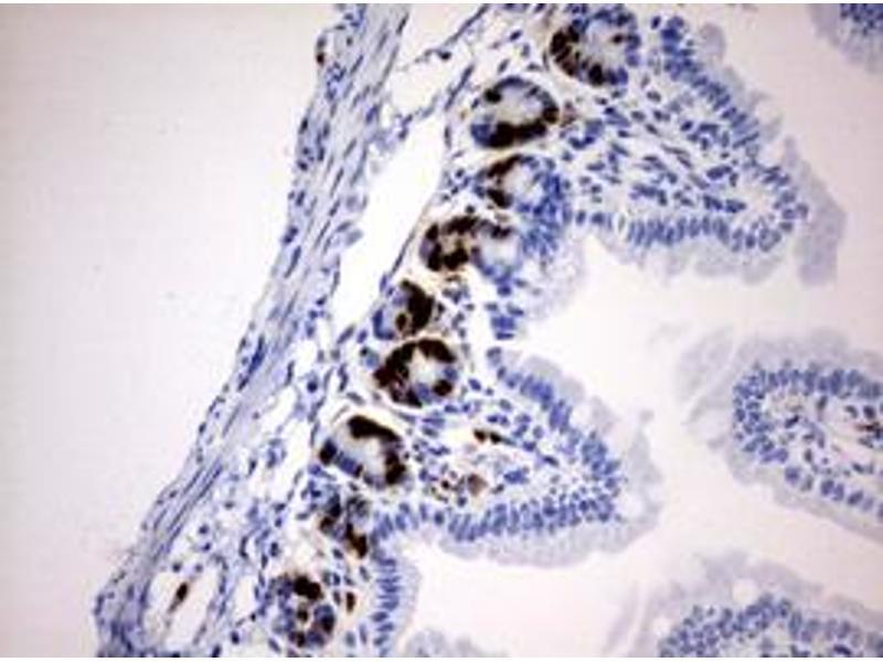 Immunohistochemistry (IHC) image for anti-IdU antibody (ABIN2669973)