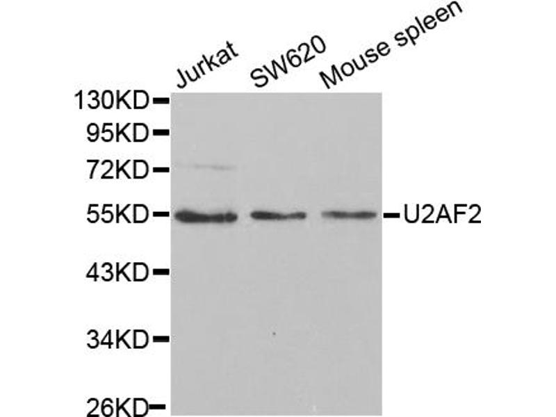Image no. 2 for anti-U2 Small Nuclear RNA Auxiliary Factor 2 (U2AF59) antibody (ABIN6568989)