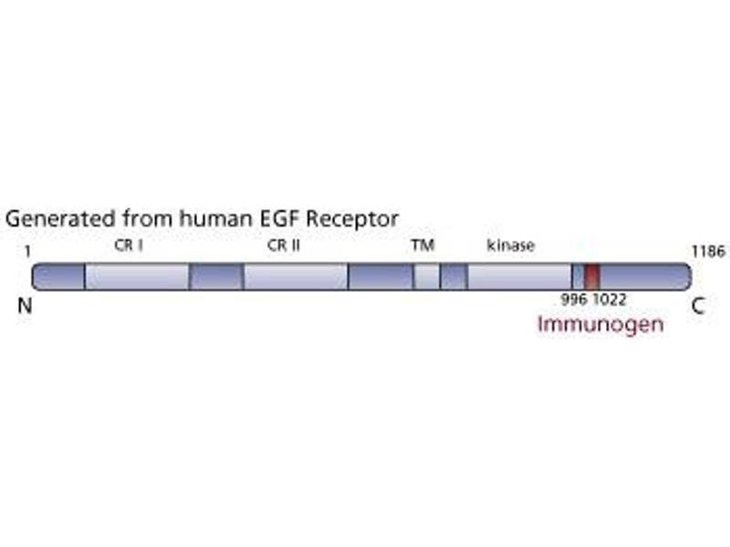 image for anti-Epidermal Growth Factor Receptor (EGFR) (AA 1020-1046) antibody (ABIN967697)