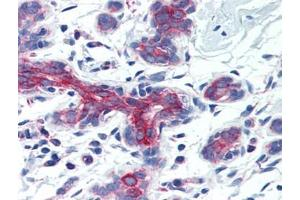 Image no. 1 for anti-Apoptosis-Inducing Factor, Mitochondrion-Associated, 3 (AIFM3) (Center) antibody (ABIN615014)