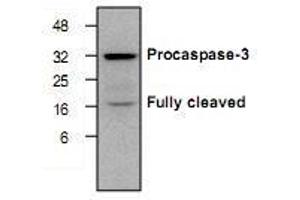 anti-Caspase 3, Apoptosis-Related Cysteine Peptidase (CASP3) antibody