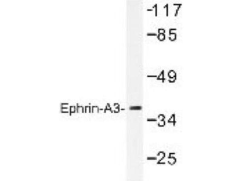 Western Blotting (WB) image for anti-Ephrin A3 antibody (EFNA3) (ABIN4308737)