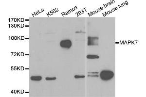 Image no. 2 for anti-Mitogen-Activated Protein Kinase 7 (MAPK7) antibody (ABIN6569113)