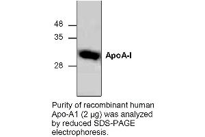 Western Blotting (WB) image for Apolipoprotein A-I (APOA1) (Active) Protein (ABIN413013)