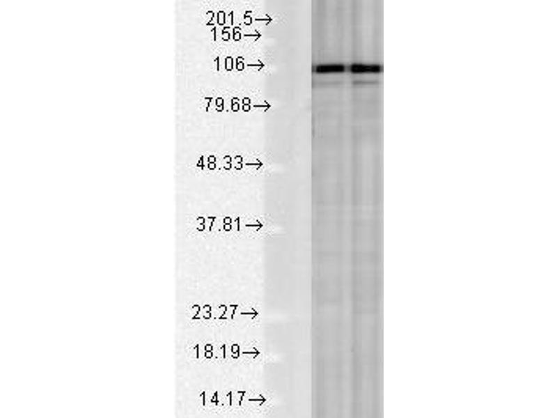image for anti-Calnexin antibody (CANX) (C-Term) (ABIN361826)