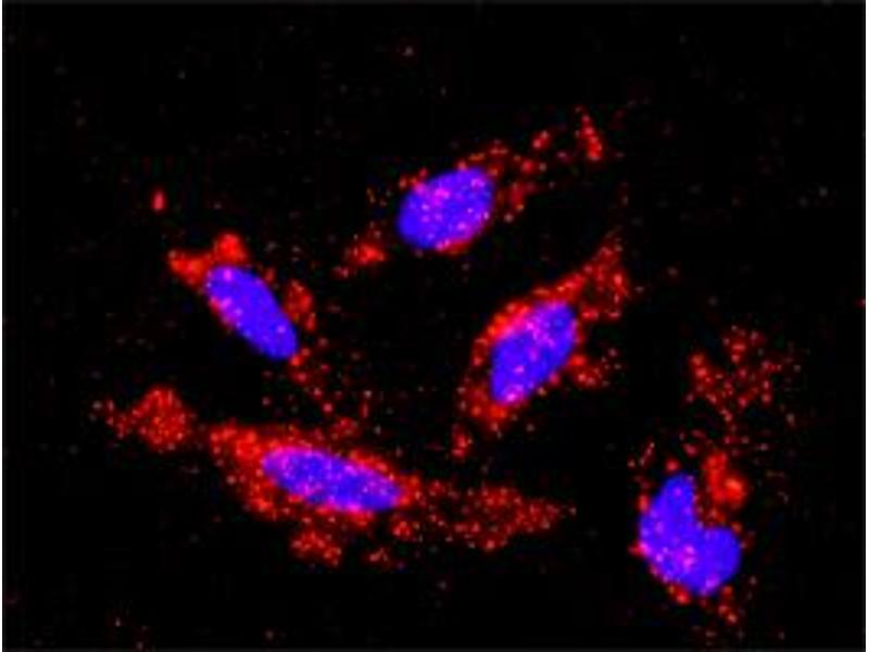 Proximity Ligation Assay (PLA) image for anti-MAP3K1 antibody (Mitogen-Activated Protein Kinase Kinase Kinase 1) (AA 1211-1310) (ABIN561796)