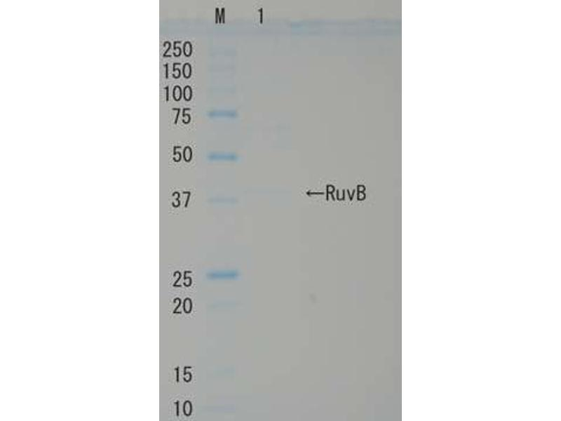 SDS-PAGE (SDS) image for RuvB (Active) protein (ABIN2452184)