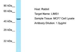 Image no. 1 for anti-LIM and Senescent Cell Antigen-Like Domains 1 (LIMS1) (C-Term) antibody (ABIN2789690)