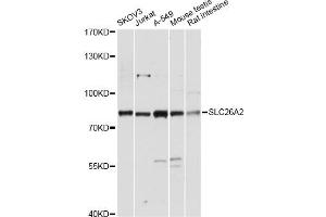 Image no. 1 for anti-Solute Carrier Family 26 (Sulfate Transporter), Member 2 (SLC26A2) antibody (ABIN6568395)