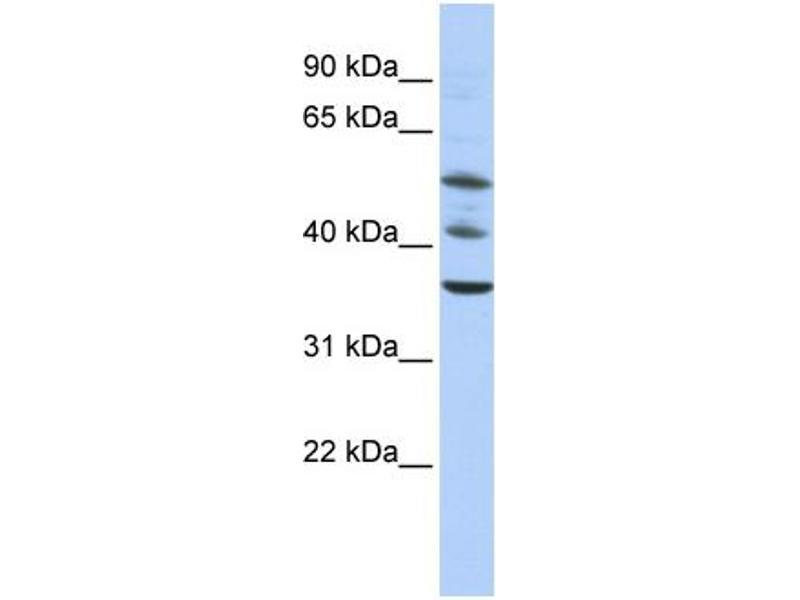 Western Blotting (WB) image for anti-Tripartite Motif Containing 68 (TRIM68) (Middle Region) antibody (ABIN405219)
