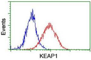Image no. 4 for anti-Kelch-Like ECH-Associated Protein 1 (KEAP1) antibody (ABIN1499016)