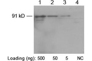 Image no. 3 for anti-His Tag antibody (ABIN1573881)