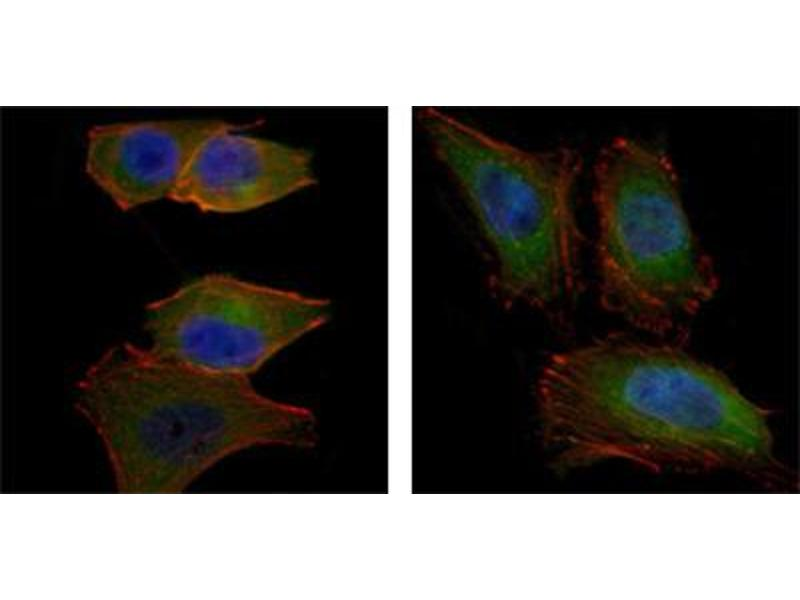Immunofluorescence (IF) image for anti-V-Akt Murine Thymoma Viral Oncogene Homolog 2 (AKT2) antibody (ABIN1842738)