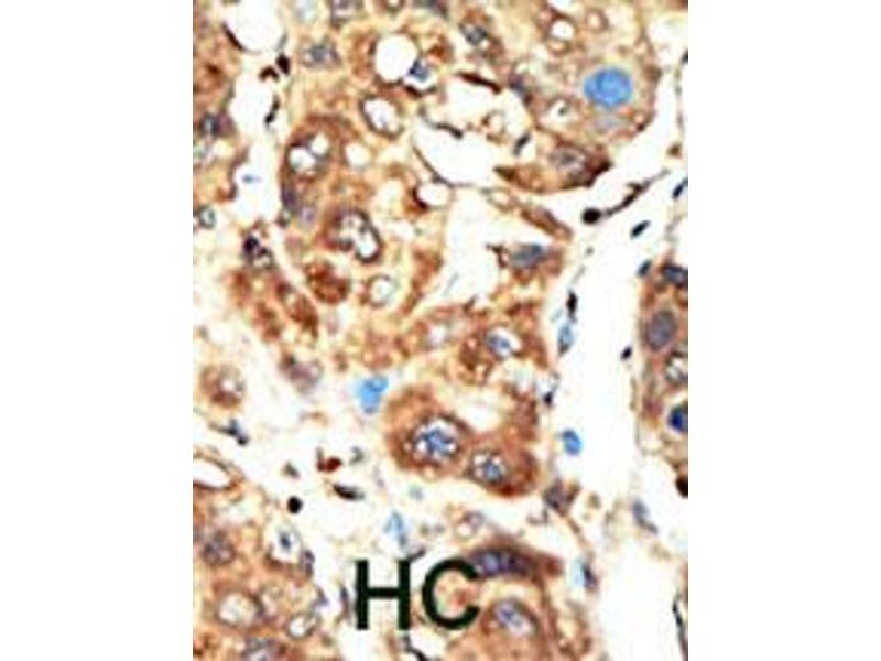 Immunohistochemistry (IHC) image for anti-MAGI1 antibody (Membrane Associated Guanylate Kinase, WW and PDZ Domain Containing 1) (AA 1227-1256) (ABIN392808)