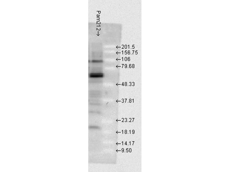 Western Blotting (WB) image for anti-Heat Shock Protein 70 (HSP70) (full length) antibody (Atto 594) (ABIN2486666)