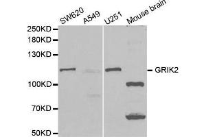 Image no. 2 for anti-Glutamate Receptor, Ionotropic, Kainate 2 (GRIK2) antibody (ABIN3022675)