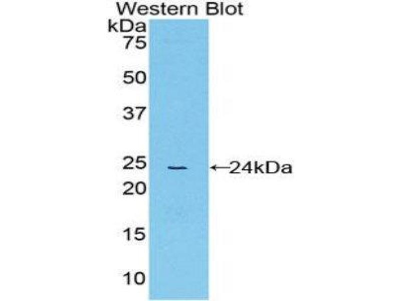 Western Blotting (WB) image for anti-Peptidylprolyl Isomerase D (PPID) (AA 9-189) antibody (ABIN1858598)