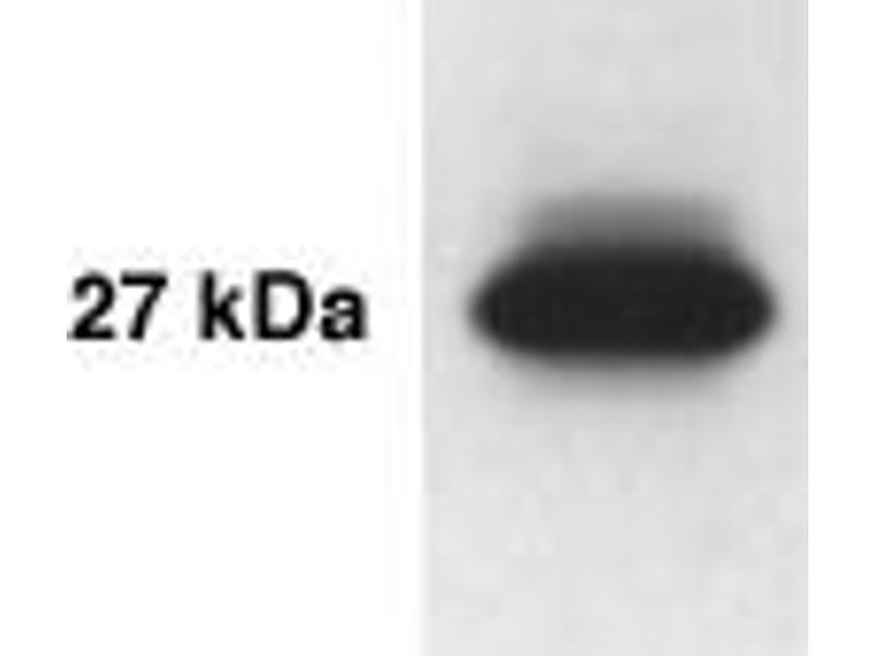 Western Blotting (WB) image for anti-Kallikrein 14 antibody (KLK14) (AA 239-251) (ABIN152275)