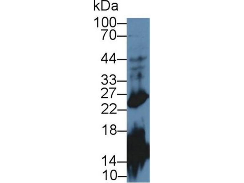 Western Blotting (WB) image for anti-Growth Hormone 1 (GH1) (AA 28-216) antibody (ABIN1078097)